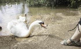 ゲイの白鳥カップル、プラスチックのカップを我が子認定。それを守るために人間を襲撃、ついに湖から強制退去させられる(オーストリア)