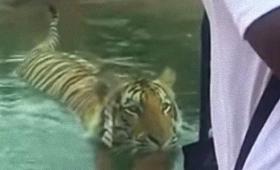 いち、にの、じゃ~んぷ!だからトラに背中を見せるなとあれほど…。後ろからこっそり忍び寄るトラ