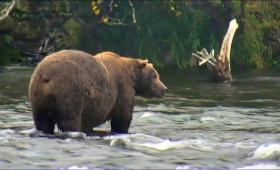 ヒグマたちがアラスカの川に帰ってきた!ライブカメラでその姿を堪能できるぞ!