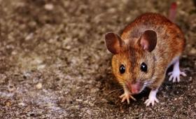血の呪い?人間の犯罪者の血液から採取した抗体をマウスに注入すると攻撃性が増すことが判明(スウェーデン研究)