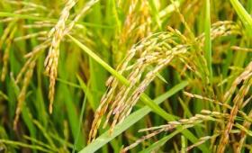 第二の「緑の革命」を起こし得る新しい品種の稲が開発される