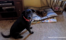 「猫さん、そろそろベッド返してほしいんだけど……」どこか遠慮がちな犬たちのベッド奪還作戦