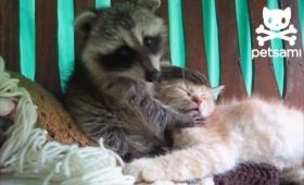 なでくりなでくり、大好きキュッキュ!猫を猫可愛がりするアライグマ
