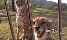 チーターもイエネコみたいにニャオニャオ鳴く。ただしハスキーボイス