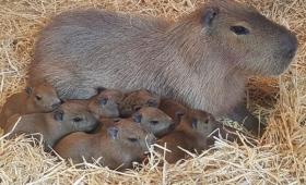 これが聖母の幼体なのかしら?超かわいいカビパラの赤ちゃんが生まれたよ(ニュージーランド)