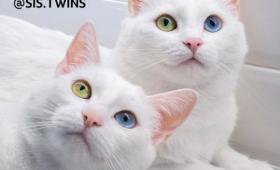2018年のインスタアイドルキャット。ホワイトボディに宝石のようなオッドアイを持つ双子猫「イリスとアビス」