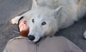 オオカミだって甘えたい。オオカミのモフ要求がうらやまけしからん件