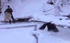 氷に翼がくっついて動けなくなってしまったハクトウワシの救助物語(アメリカ)