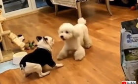 犬と犬が向かい合って合わせ鏡の術を発動させていた件
