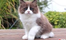 ティモそっくりな弟ができたよ!ラグドールの子猫がトビーのおうちにやって来た