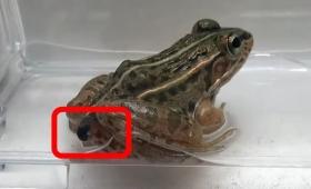 カエルに食べられても「お尻の穴」から生きたまま脱出できる虫が発見される
