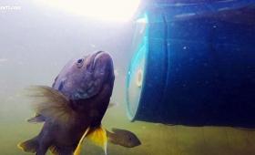 魚だってなつくんです。5年間女性と友情を育み続ける淡水魚(アメリカ)