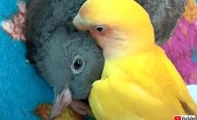 同じ鳥類やしマッサージのツボは心得てるし!ハトとインコのいちゃいちゃ仲良し風景に和む